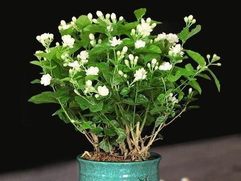 秋天养茉莉花,了解掌握养护方法,还能发芽再次开花
