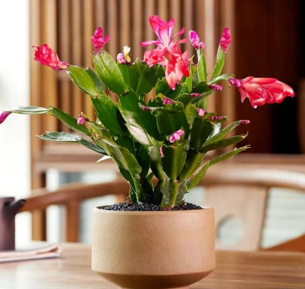 秋季该如何养蟹爪兰?确保3点做到位,植株花期不落花、落蕾