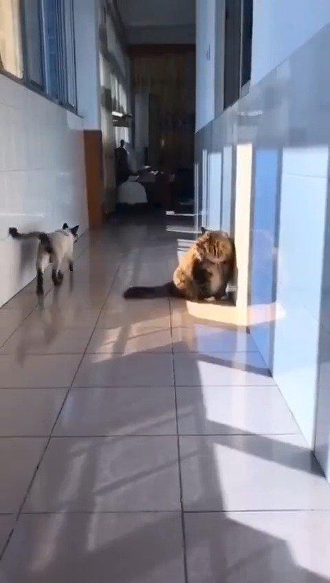 猫中哈士奇 ,走位也不是白吹的