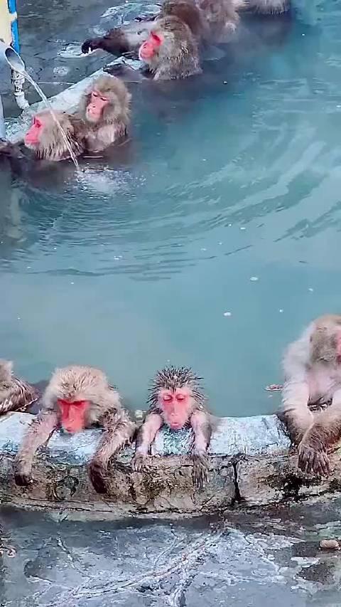 北海道的猴子也太酥糊了~