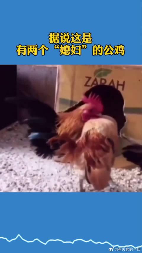 """据说这是有两个""""媳妇""""的公鸡,也是没谁了~"""