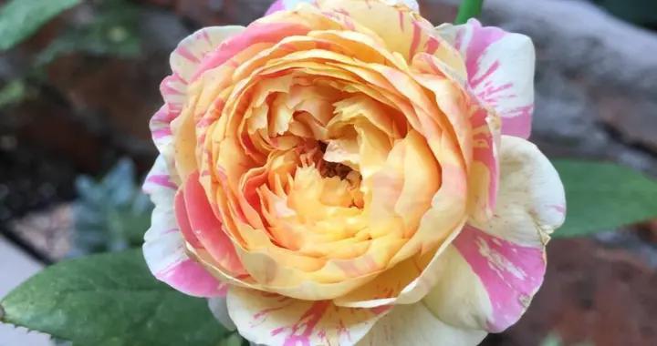 有院子养灌木花,虽然长得矮小,但胜在开花多满满的幸福感