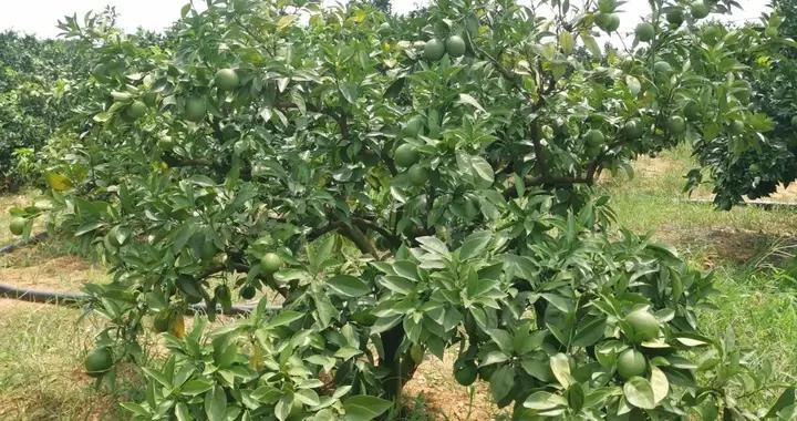柑橘病毒病个个厉害,植株感染后终身受害,果农如何防控?