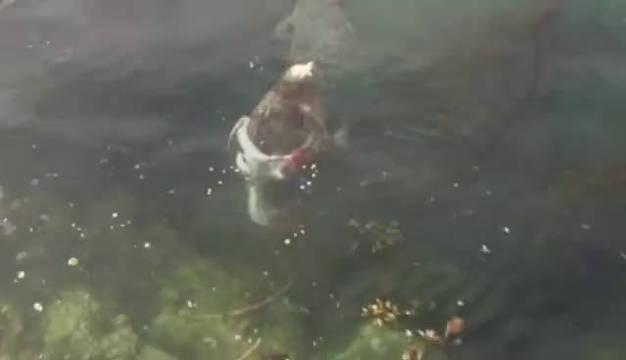 斑海豹与水蛸转圈圈