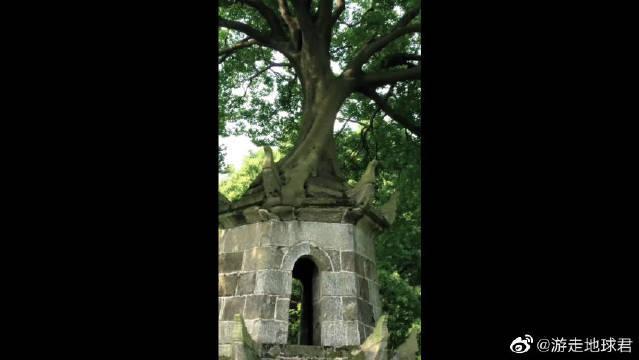 1838年建的塔,顶上长岀一棵大树,居然是一只小鸟的杰作