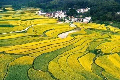 湖北宜昌乡村游新玩法,城里游客到乡村割稻谷,体验农耕之乐