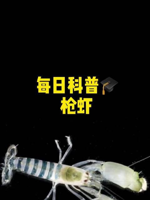 枪虾——现实版漩涡鸣人九尾炮(来源:一个知识点)