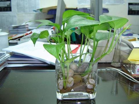 土培养不活,快试试水培法,好处多好成活,新手都能窜绿叶