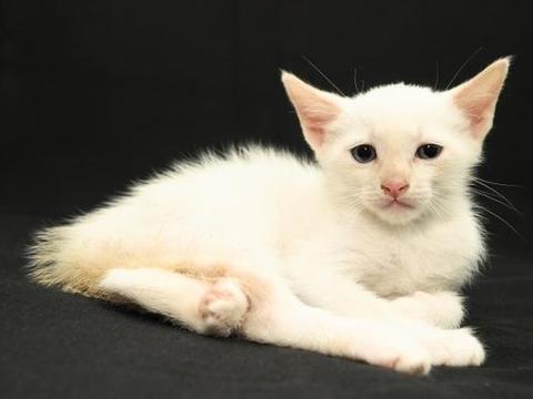 身为铲屎官的你,需要掌握猫咪断奶进入快速生长期的喂养方法?