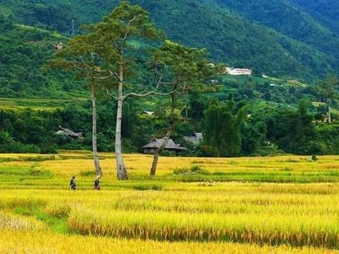 越南安沛省木江界显出金色地毯的效果,成为抗疫胜利后热门旅游地