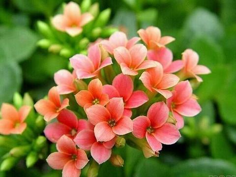 九月份养长寿花,关键做好这几件事,呼呼冒花苞,花开四季不停歇