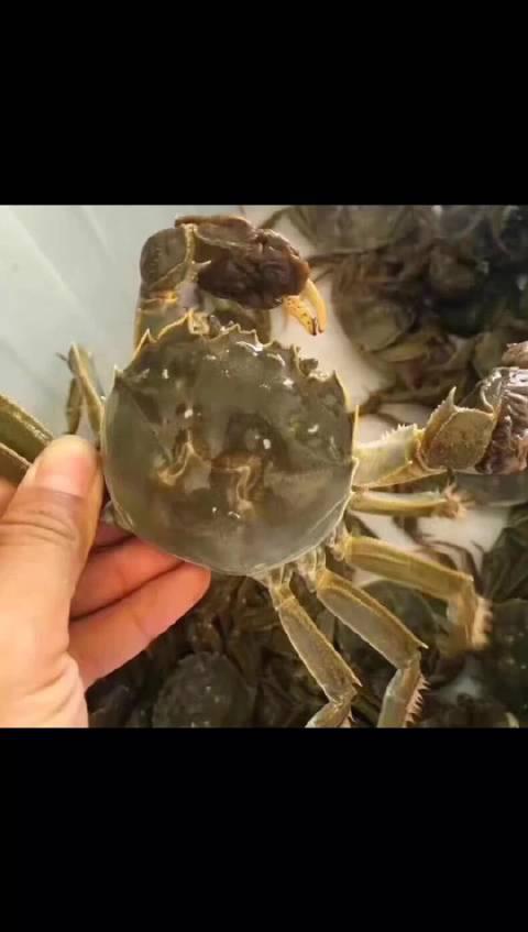 跟着我一起去捕捞固城湖大闸蟹,今年的品质比往年都好……