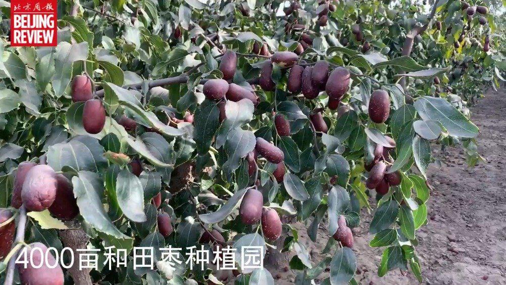 还挂在枝头的和田大枣颜值有多高?
