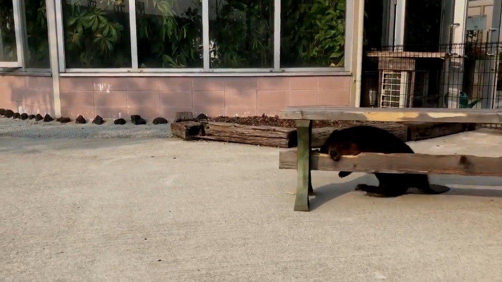 熊本县阿苏农场 这位河狸发现了一块水坝木材(公园的长椅) twi