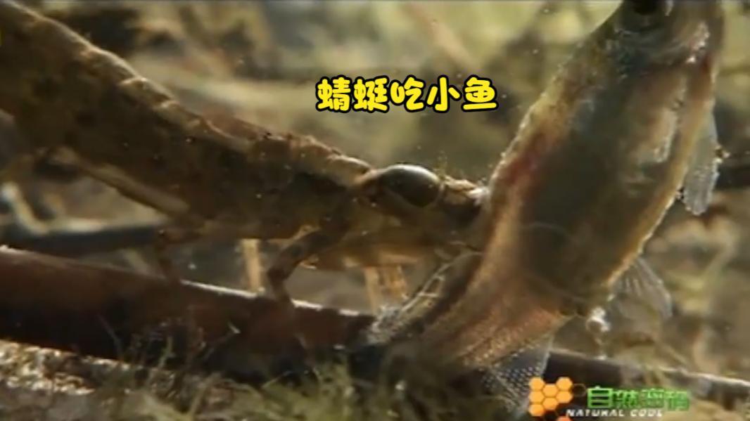 在水下,蜻蜓幼虫捕食比自己体型还大的鱼,将其生吞活剥!