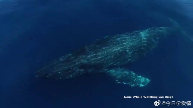 数头座头鲸在海面畅游的场景,壮观而优美