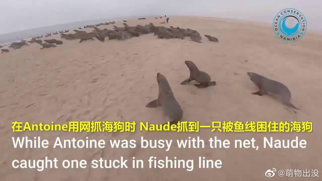 两位小哥在纳米比亚的海滩上,解救被鱼线缠绕的小海狗