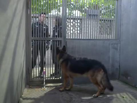 警花与警犬:天狼如果失去了尊严,队长将会对它进行安乐死处理
