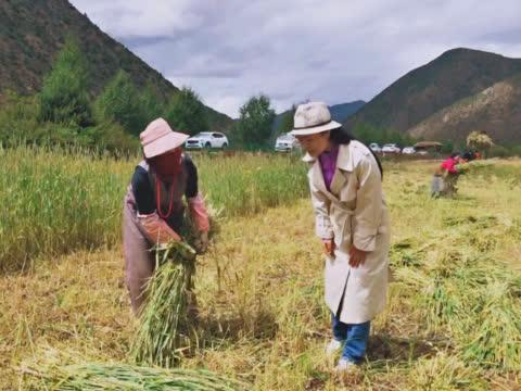318川藏线上路过一片青稞田,看看当地藏民如何收割青稞的