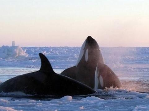 人类在海上游泳遇到虎鲸会怎样?现实案例告诉你答案