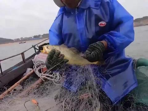 大叔捕到活的大黄鱼,金灿灿的太漂亮了,还会发出蛙叫声