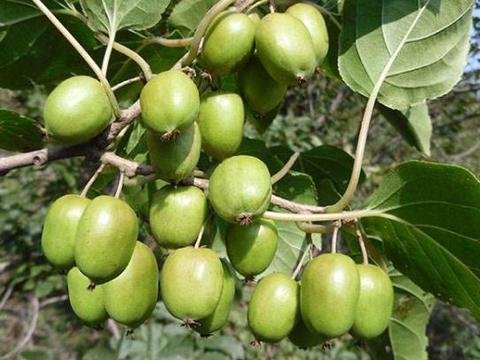 一种水果植株,容易结出可口的果实,养一年就成型,养一盆不吃亏