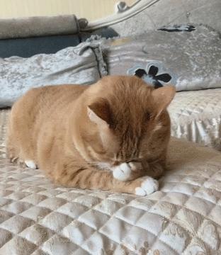 小猫咪在床上被骂,忍不住哭起来,不停的抹着眼泪!