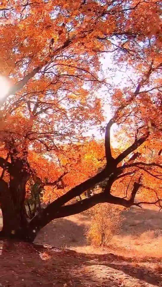 乌旦塔拉五角枫森林公园是内蒙古草原赏枫叶的好去处……
