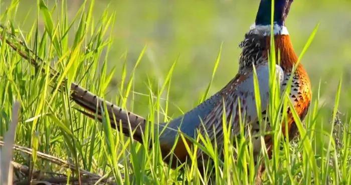 吉林省天桥岭林区:好生态引来翱翔蓝天的精灵