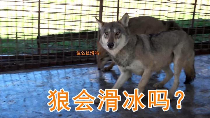 动物也会滑冰?狼群集体溜冰现场翻车,养狼大姐在旁止不住笑意!