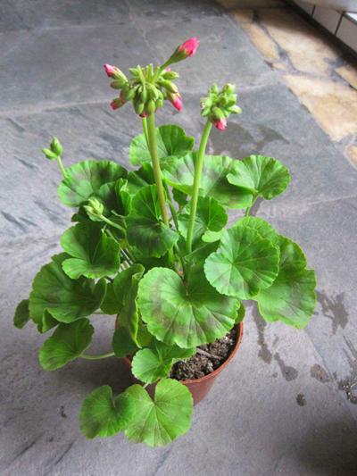 秋养天竺葵是个好时机,花色鲜艳开花多,放在阳台能开好几茬花