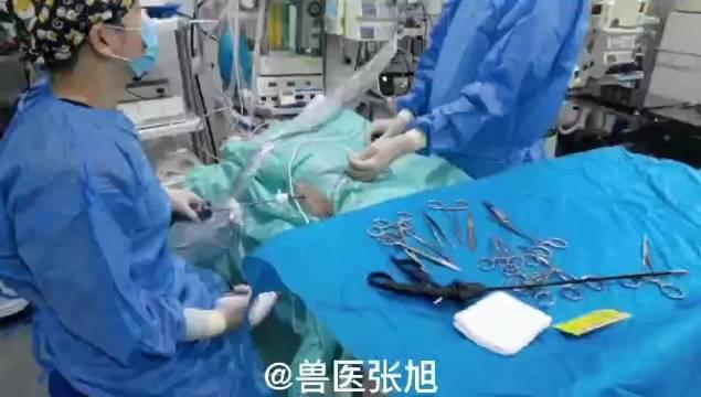 表情可爱的金毛大宝贝来做腹腔镜微创绝育……