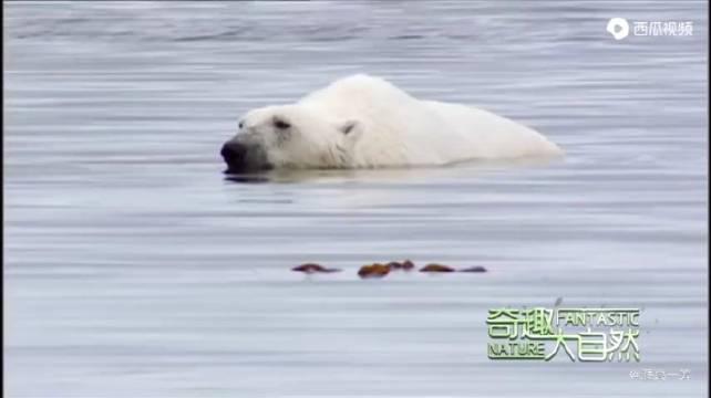 饥饿的北极熊突然遇到搁浅的抹香鲸……