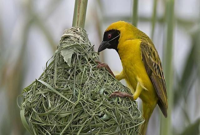全球最大的鸟窝:鸟儿比建筑师还要巧,鸟巢有1000多公斤重!