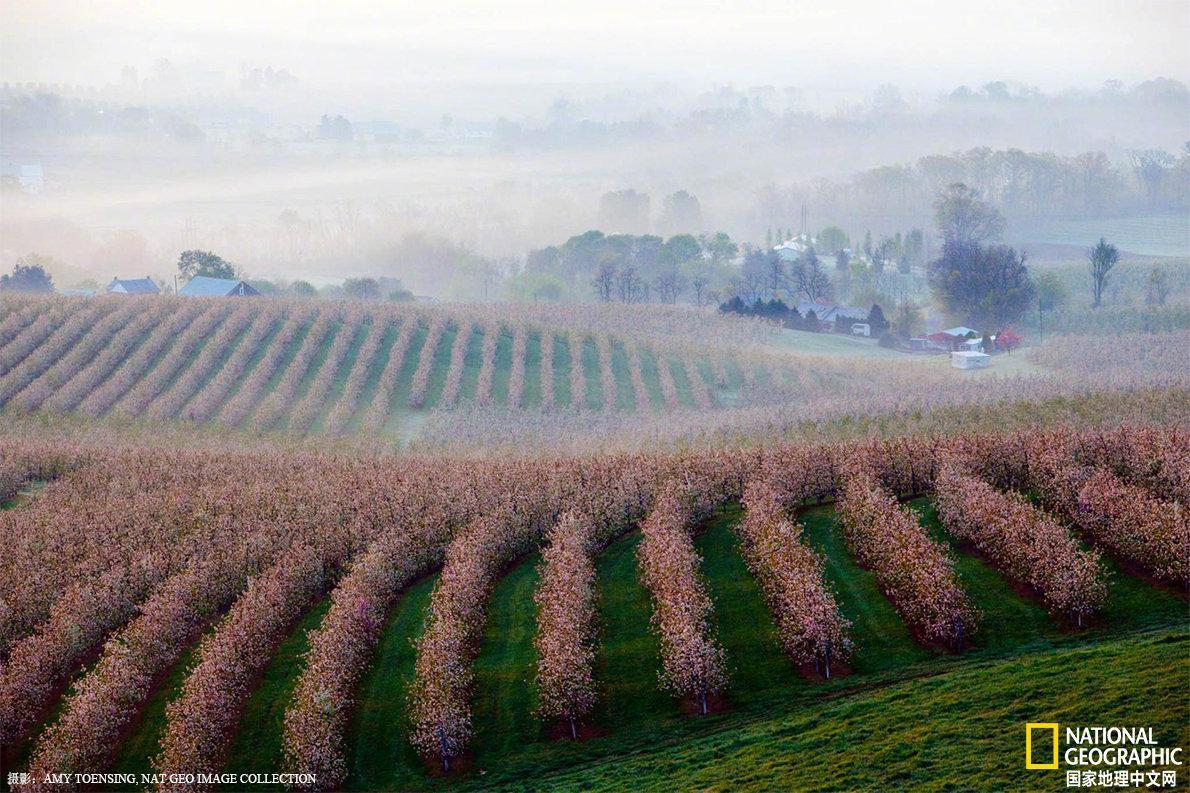 日出时,春雾飘过宾夕法尼亚的苹果园