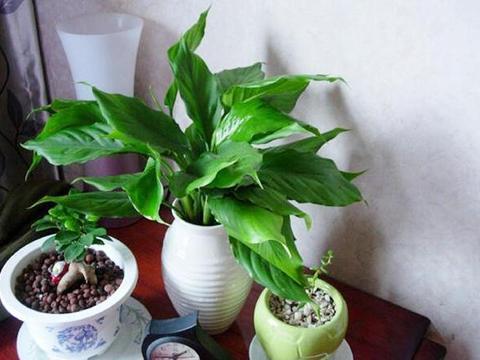 新手养花当盆栽万年青,做到3点,植株嗖嗖爆盆,将室内变氧吧