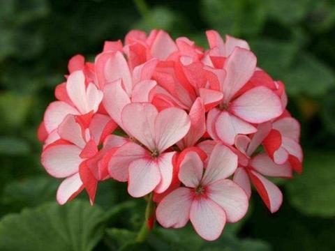 4种花适合夏天养,开花爆盆花期长,花大色艳很漂亮,谁养谁爱