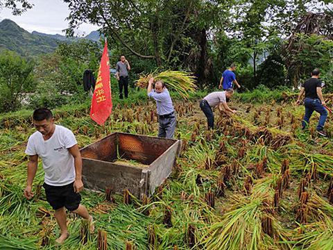 黄平县党员干部与天气争分夺秒帮群众抢收秋粮