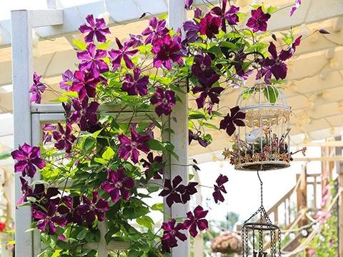 门窗开满花,美了整个家,这些爬藤花值得养!
