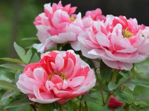 4款艳美的花卉,花大色艳花期长,芳香四溢,养在家中香飘满屋