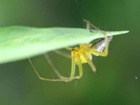 它体型不大,却能编织直径90厘米的蜘蛛网,鸟类碰到都跑不了