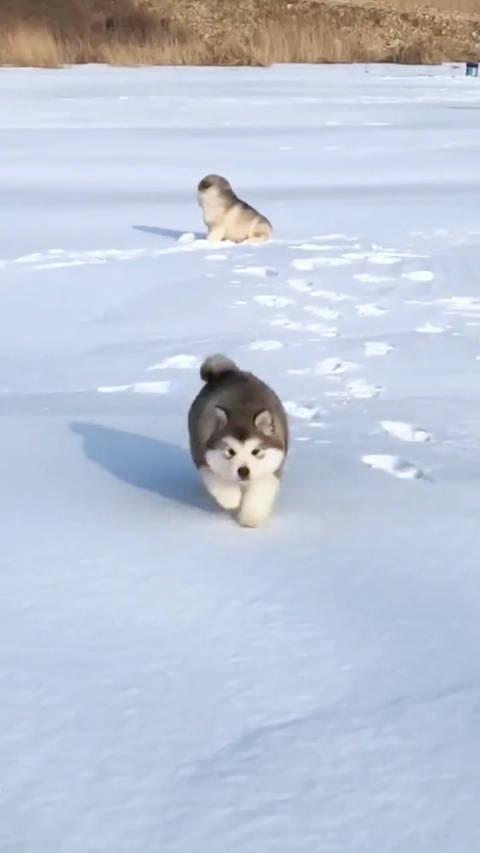 狗狗在雪地里跑步的样子,好蠢萌啊,让人好想摸摸它啊!