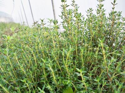 花卉植物百里香怎么栽培好?