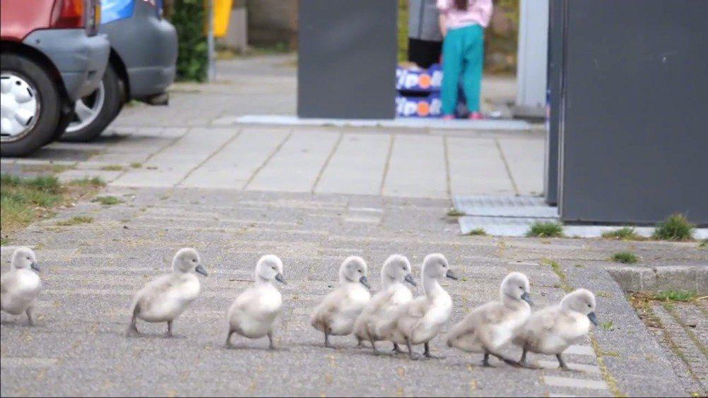 荷兰一对天鹅带着10只宝宝穿过马路……