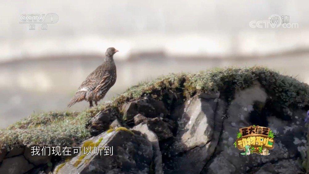 生活在海拔3000米以上的神秘鸟类