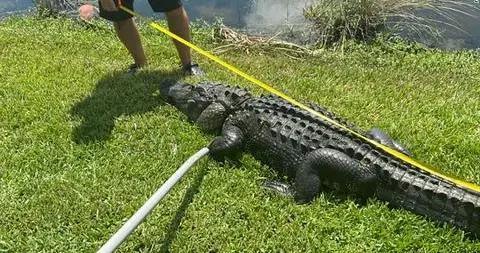 美国佛罗里达州短吻鳄袭击事件频发 重伤者缝62针