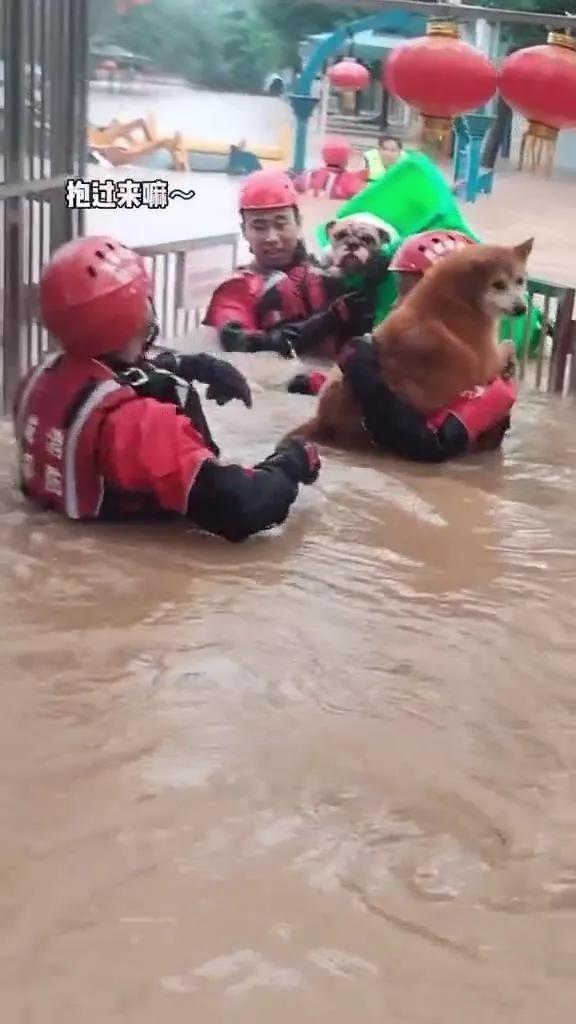 消防员解救宠物狗狗,这只斗牛犬竟然因为体重上了人民日报?