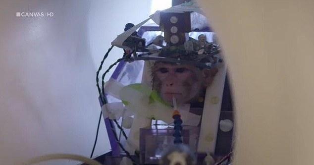 比利时一大学被曝残酷折磨猴子做实验:头骨钻孔,脑内植入电极