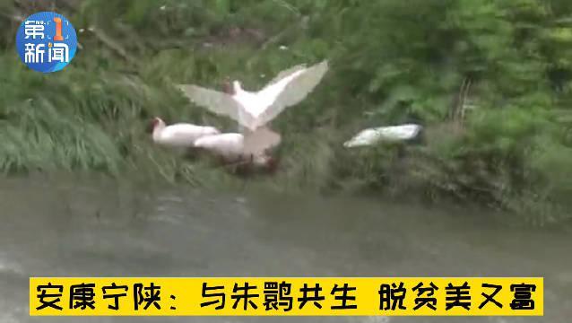 陕西朱鹮与水田共生脱贫致富
