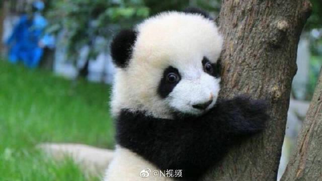 香港新冠肺炎疫情缓和,海洋公园大熊猫又见粉丝